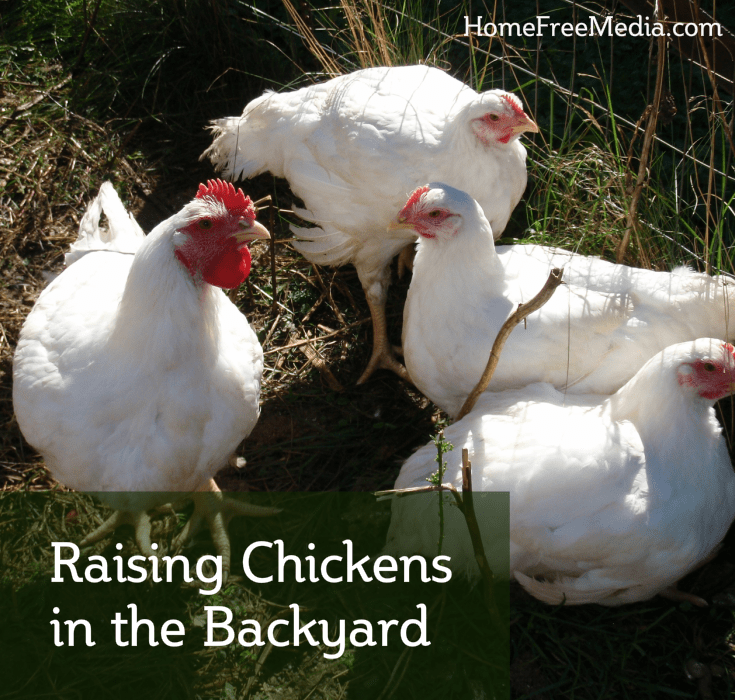 Raising Chickens in the Backyard